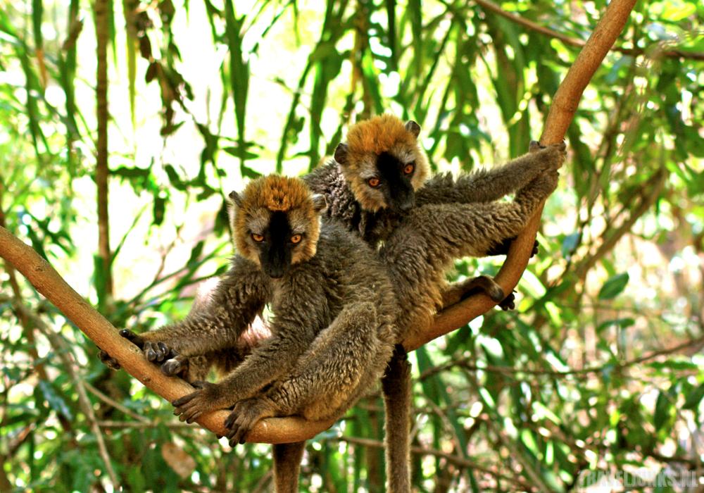 Isalo Lemuren