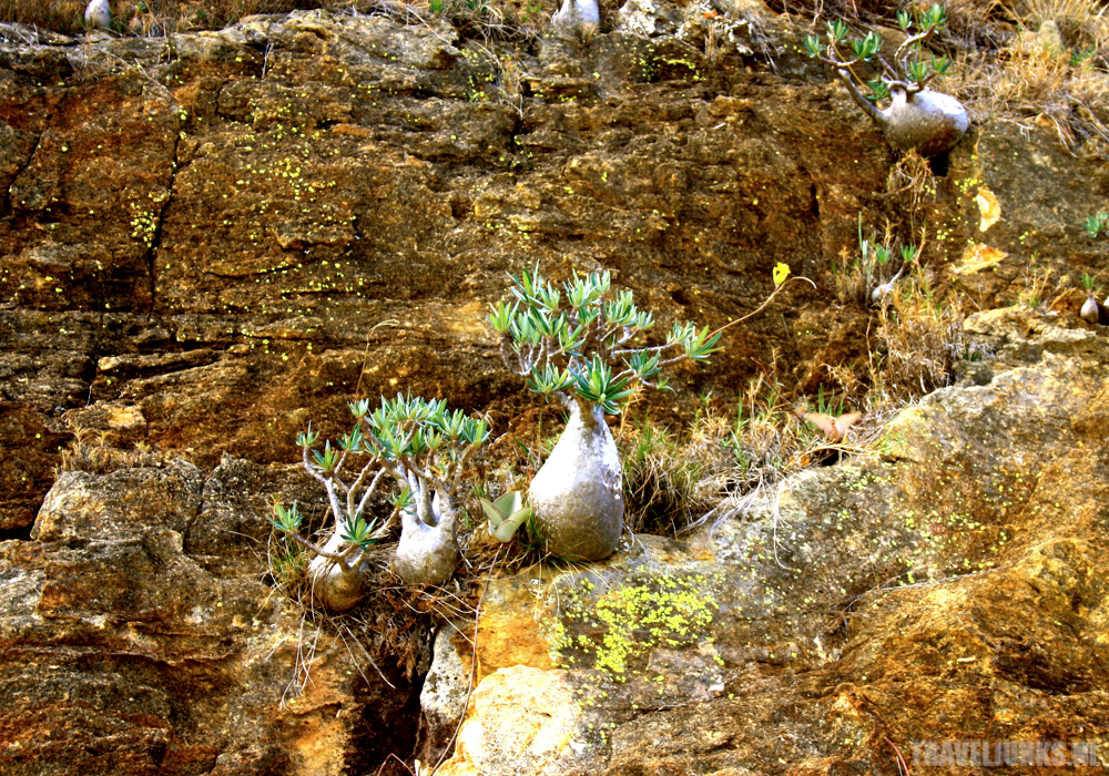 Isalo Mini Baobab