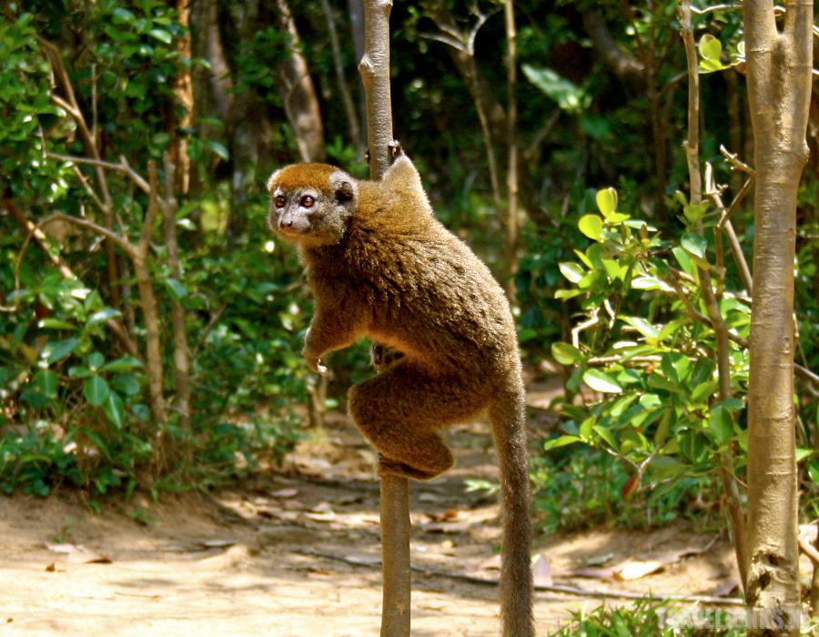 Bamboe lemuur Andasibe
