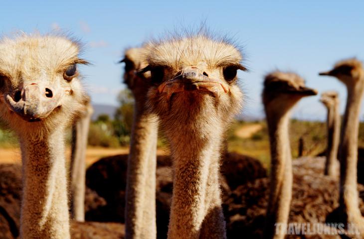 Zuid Afrika struisvogel