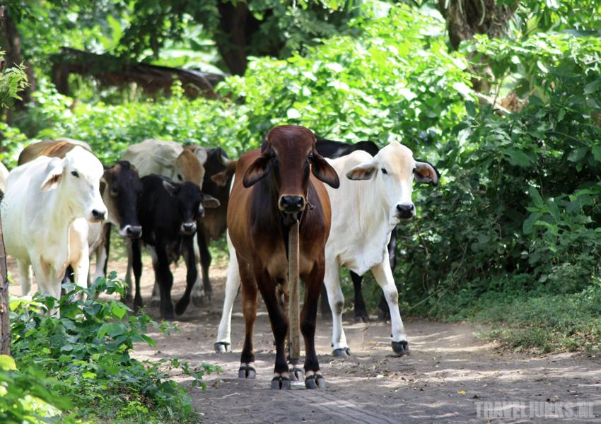 Isla de Ometepe vee