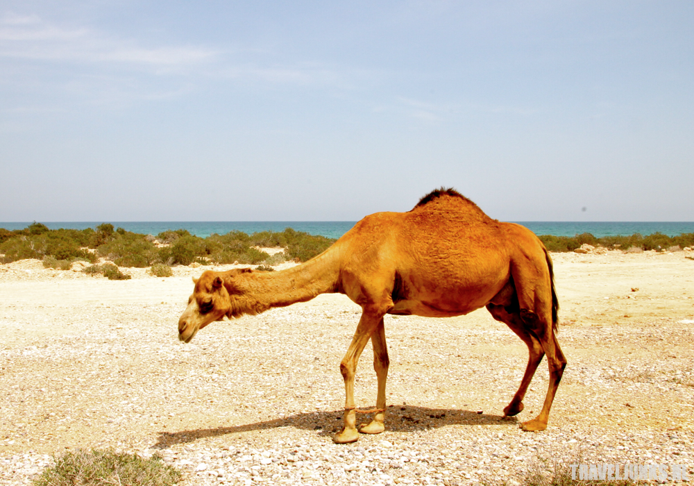 Oman kameel