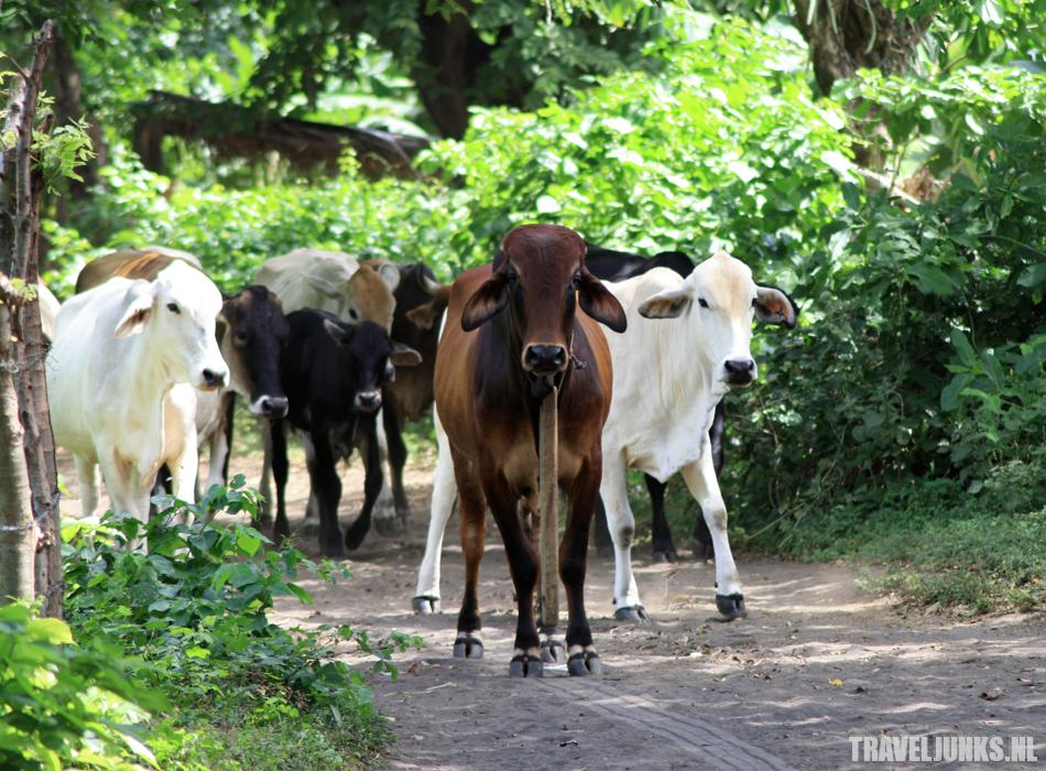 Ometepe cows