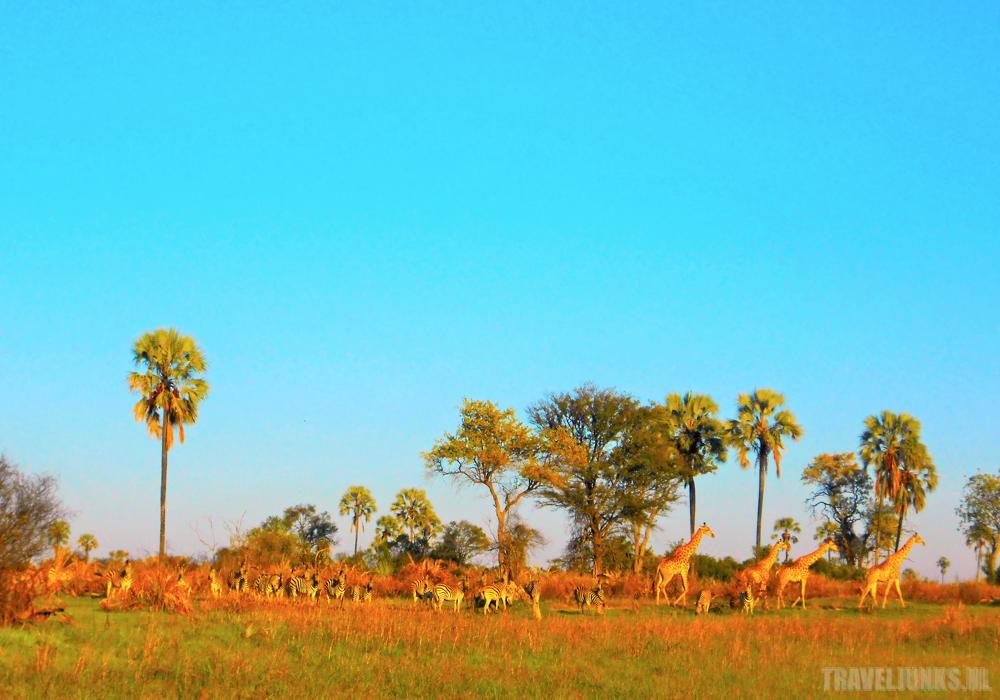 Okavango giraffen