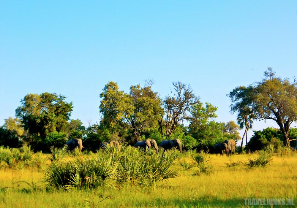 Okavango olifanten