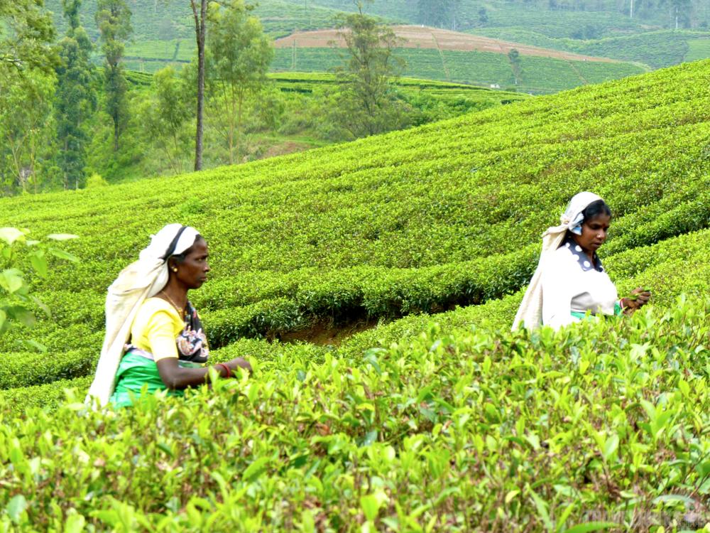 Sri Lanka theevelden