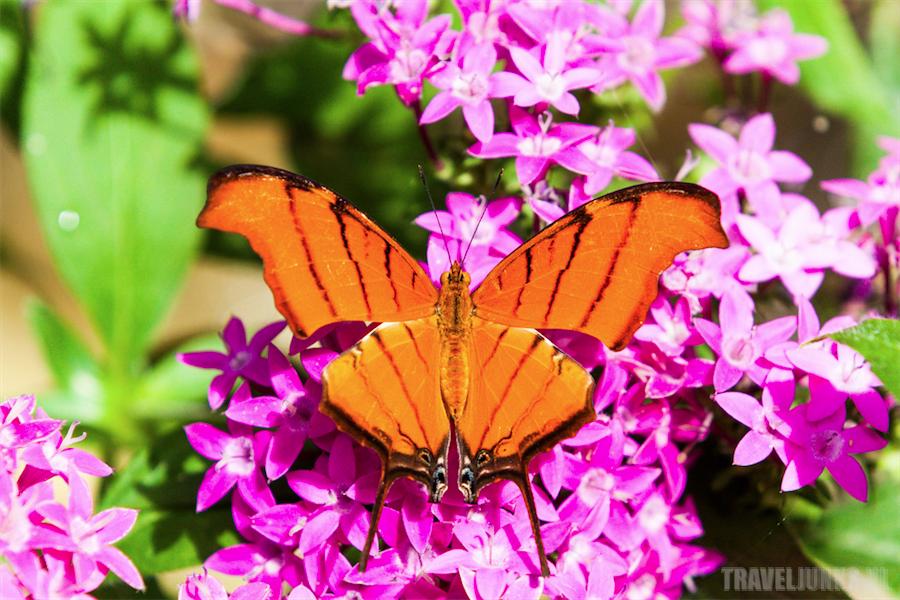 medellin vlinder