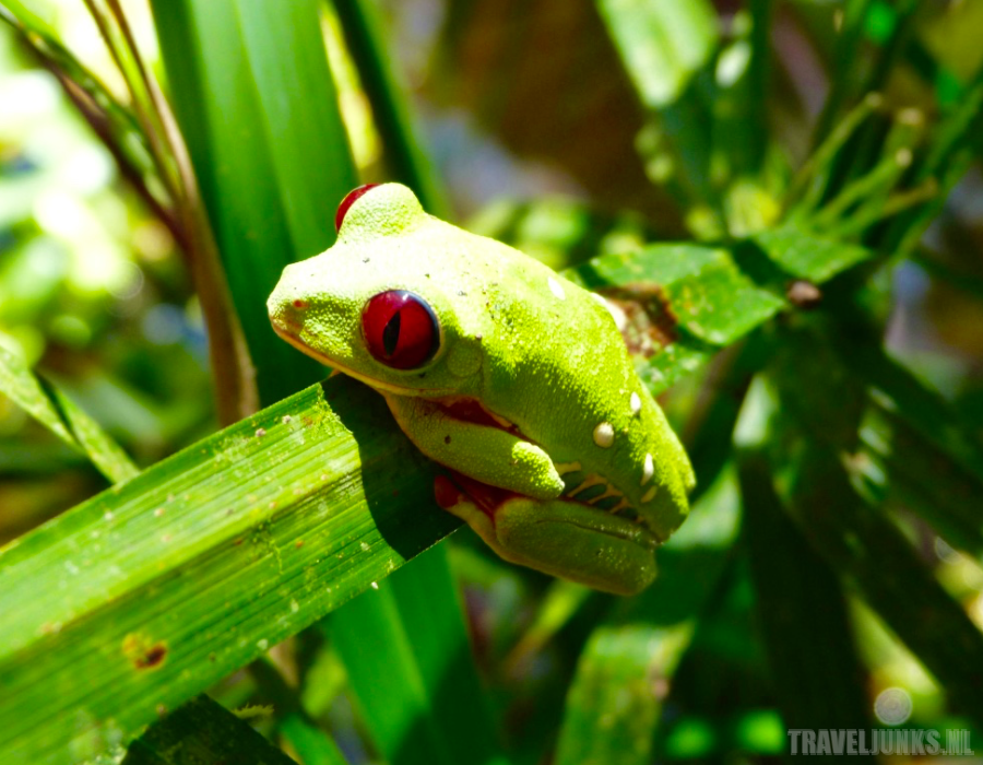 Costa Rica boomkikker