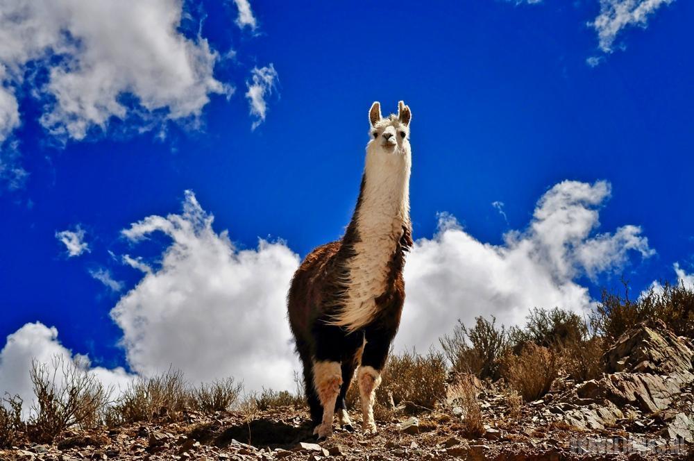 Andes dieren