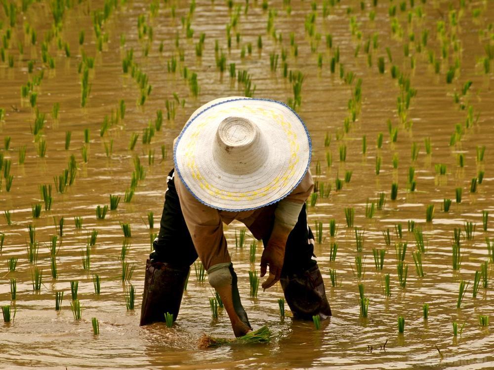 Thai Rijstveld